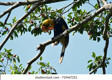 Great Hornbill   A big bird in Thailand which is also most wanted by local and international bird lovers; the horn is beautiful yellow and orange combined, bill is large for fruit eating fruits.