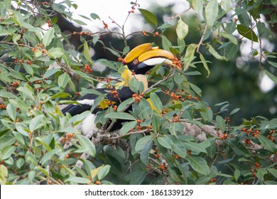 The great hornbill (Buceros bicornis) great Indian hornbill is one of the larger members of the hornbill family Eating a ripe ficus on a large banyan green tree.