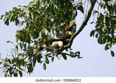 The great hornbill (Buceros bicornis) also known as the concave-casqued  is one of the larger members of the hornbill family. It is found in the Indian subcontinent and Southeast Asia.