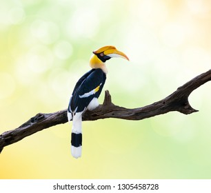 Great Hornbill (Buceros bicornis) perched on a branch with a natural background.