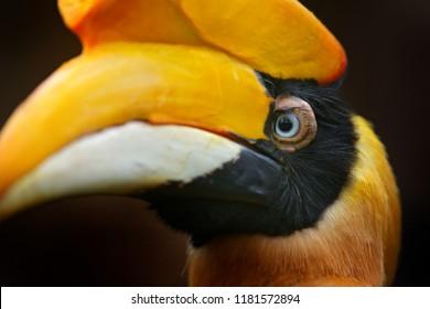 Great Hornbill, Buceros bicornis, from Sulawesi, Indonesia. Rare exotic bird, detail eye portrait. Beautiful jungle hornbill, wildlife scene from nature. Close-up yellow bill portrait.