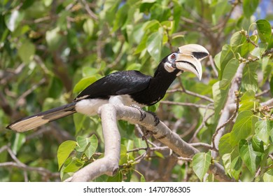 Great hornbill (Buceros, Bucerotidae) in jungle of Thailand. Big bird with huge beak. Great oriental hornbill stair on the branch. Another names - pied hornbill, convexus, Anthracoceros albirostris.