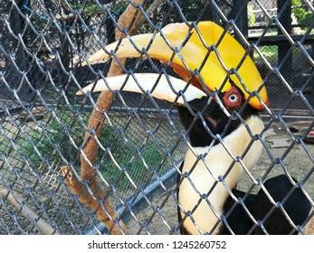 Great hornbill in Chainat Bird Park of Thailand, Great hawthorn hornbill, Great pied hornbill, Hornbill. close up