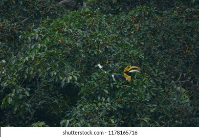 Great hornbill enjoy eating Banyan tree fruit in the forest