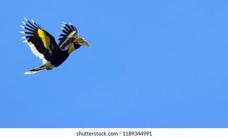 Great Hornbill in flight. Beautiful bird in flight. The birds are flying.
