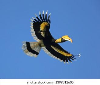 Great hornbill, Great indian hornbill, Great pied hornbill