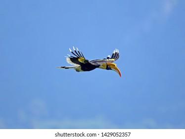 Great hornbill Great indian hornbill Great pied hornbill