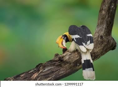 Great hornbill, Great indian hornbill, Great pied hornbill on branch on green background.