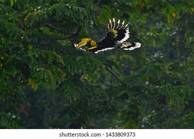 Great hornbill, Great indian hornbill, Great pied hornbill on flying over forest tree