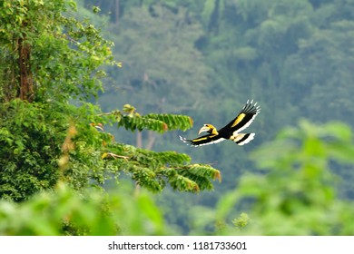 The great hornbill also known as the great Indian hornbill or great pied hornbill, is one of the larger members of the hornbill family.It is found in the Indian subcontinent and Southeast Asia.
