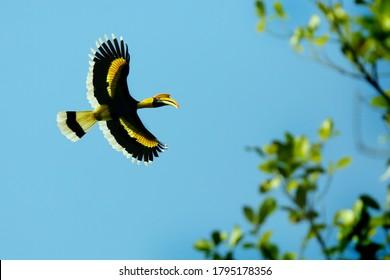 great hornbill location nelliyampathi  Western Ghats kerala
