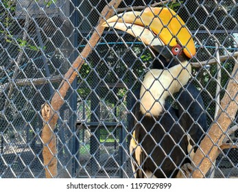 Great hornbill in a zoo of Thailand, Great hawthorn hornbill, Great pied hornbill, Hornbill. close up