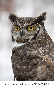 Great Horned Barn Owl outside in winter. Flakes of snow on feathers. Vertical format.