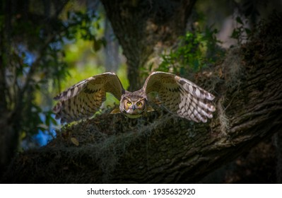 great horned owl adult (bubo virginianus) flying towards camera from oak tree, yellow eyes fixed on camera, wings spread apart, bokeh background