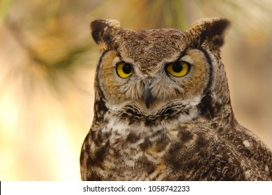 Great horned owl (Bubo virginianus), close up