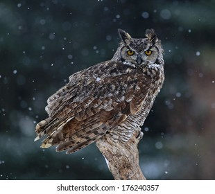 A Great Horned Owl (Bubo virginianus) sitting on a perch with snow falling in the background.