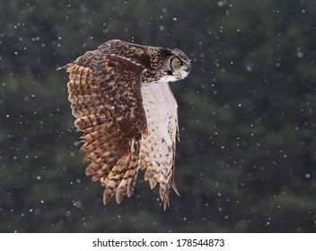 A Great Horned Owl (Bubo virginianus) gliding through the air with snow falling in the background.