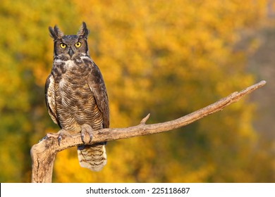 Great horned owl (Bubo virginianus) sitting on a stick