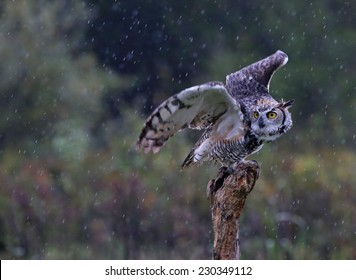 A Great Horned Owl (Bubo virginianus) about to take-off from a stump with rain falling in the background.