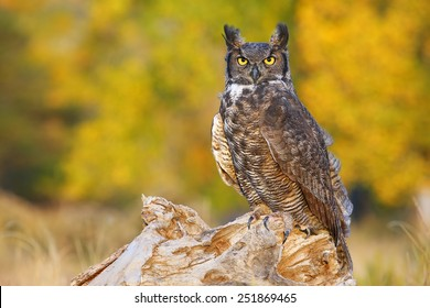 Great horned owl (Bubo virginianus) sitting on a stump