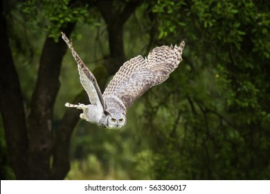 Great horned owl (Bubo virginianus) flaying in the forest