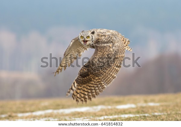 Great horned owl (Bubo virginianus), also known as the tiger owl. It is an extremely adaptable bird with a vast range and is the most widely distributed true owl in the Americas.