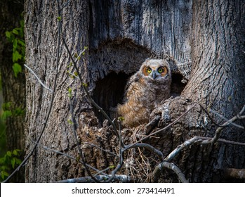 Great horned owl captured outside its nest in a tree trunk staring at camera in the wild.
