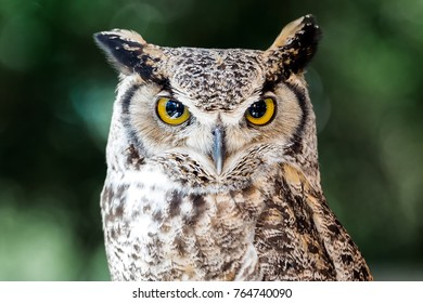 Great Horned Owl up Close