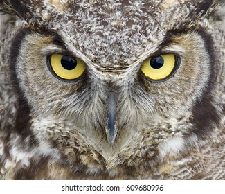 Great Horned Owl close up portrait of eyes and face with focus on the feathers around the eyes and other parts of the frame slightly out of focus