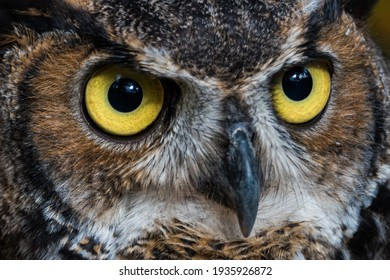 Great Horned Owl with Eyes Staring