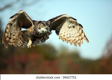 Great Horned Owl in flight against blurred autumn colors.