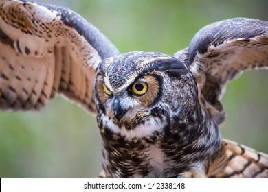 A Great Horned Owl in flight. Carolina Raptor Center.