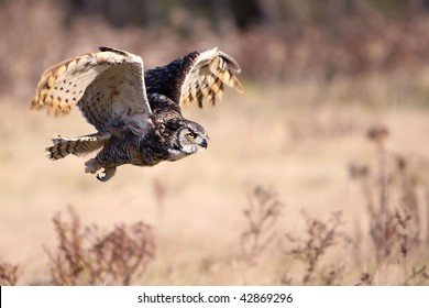 Great Horned Owl in flight with wings raised.