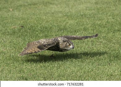 A Great Horned Owl flying low to the ground.