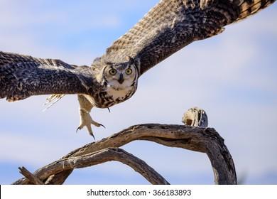 Great horned Owl flying off.