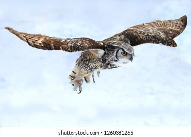 Great Horned Owl Flying in Raptor Show