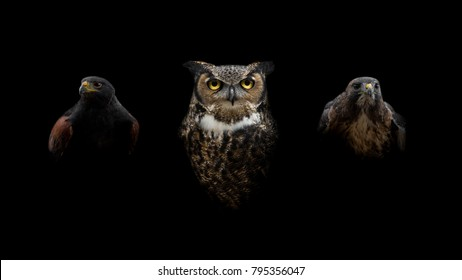 A Great Horned Owl with a Harris & Red-Tailed Hawk Intense Isolated Portrait