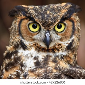 Great Horned Owl Head Shot Close Up