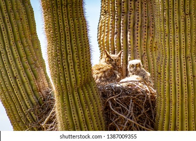 A great horned owl and her baby living in a nest in a cactus in the desert of Arizona.