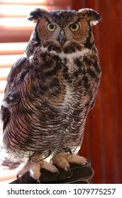 Great Horned Owl. A large owl with few natural predators. An extremely powerful bird that nests early in the year and often takes over a nest built by another pair of birds.