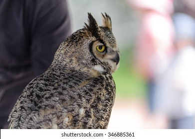 Great Horned Owl   (latin name Bubo virginianus) with golden eyes perching, Alberta,Canada