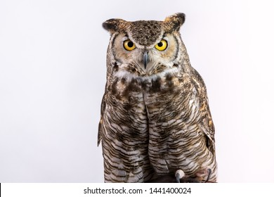 Great Horned Owl on Plain Background Isolated