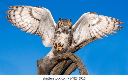Great Horned Owl with Outstretched Wings and Talons