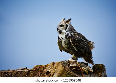 great horned owl perch
