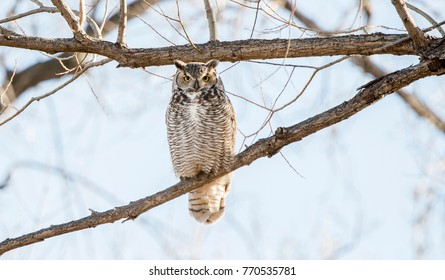 Great Horned Owl Perched in Cottonwood Tree
