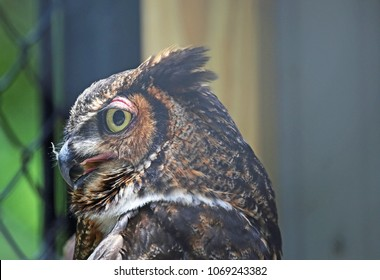 Great horned owl in profile - Reelfoot Lake State Park, Tennessee