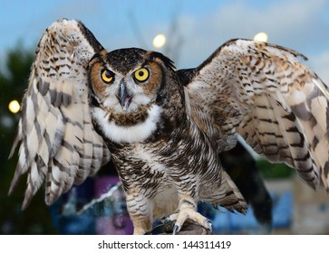 Great horned owl ready to fly off with wings half spread