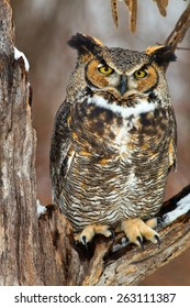 Great Horned Owl sits on a snow covered tree branch in this winter scene.