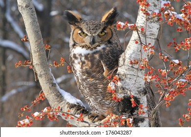 great horned owl sitting on snowy branch