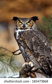 Great Horned Owl sitting in tree and staring at the camera